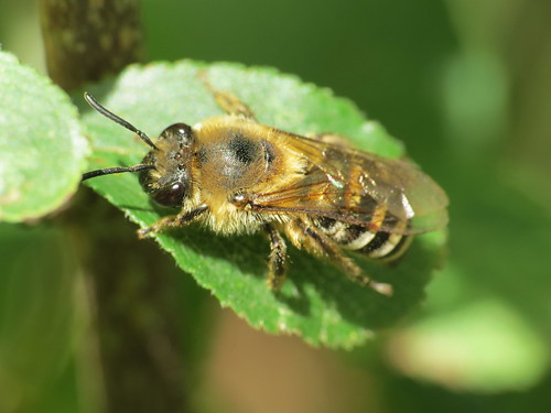 Colletes hederae Ivy Bee