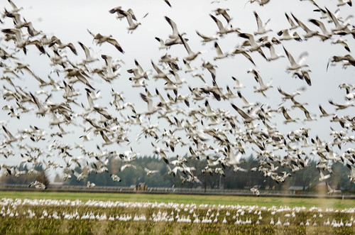 Migrating Snow Geese-14