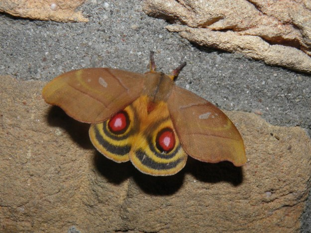 36925806333_5d9f68af49_c The Surprising Beauty of Gentle Giant Moths Random