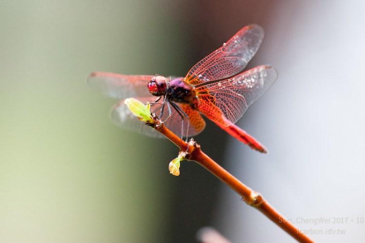 雨中安森-猩紅蜻蜓