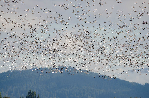 Snow Geese in the Skagit Delta-002