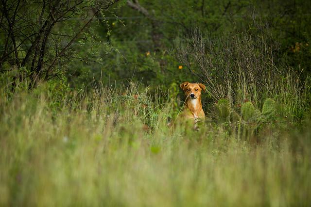 foxy dog