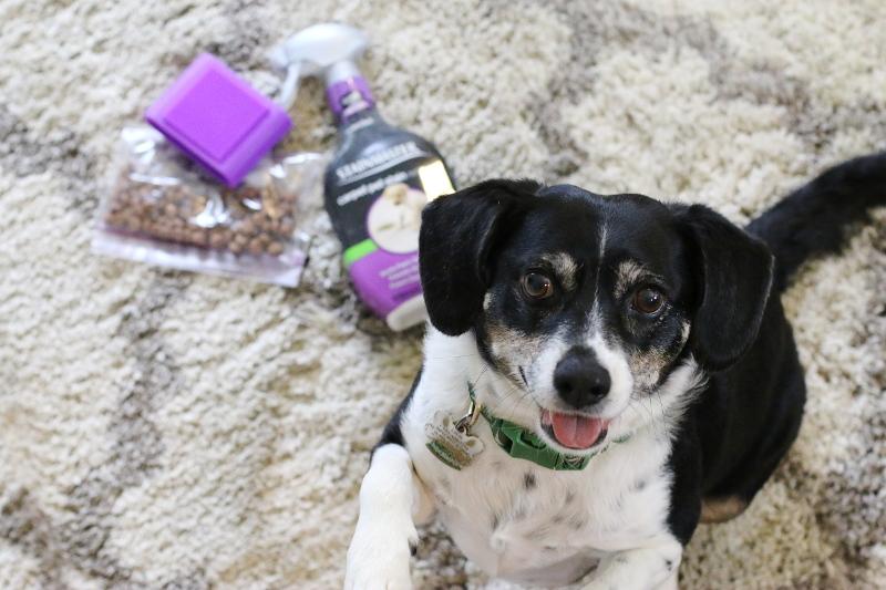 louis-the-beagle-dog-stainmaster-carpet-treats-brush-3