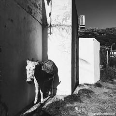 #old #spanish #donkey #blackandwhite #viveandalucia #andalucia #travel #wanderlust #guardiantravelsnaps #tourism #spain #loves_spain #travelgram #espagna #ig_spain #igtravel #viveandalucia #visitspain #exploring #bbctravel #lonelyplanet #vsco #vscocam