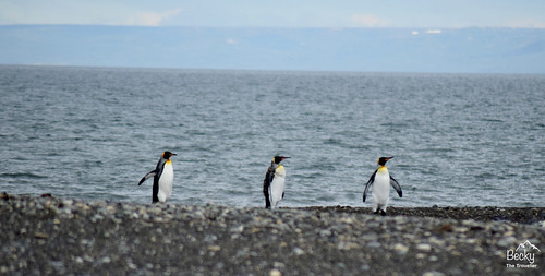 King Penguins - Chile (18) (1280x649)