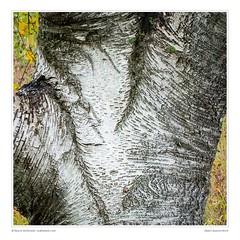Detail: Autumn Birch