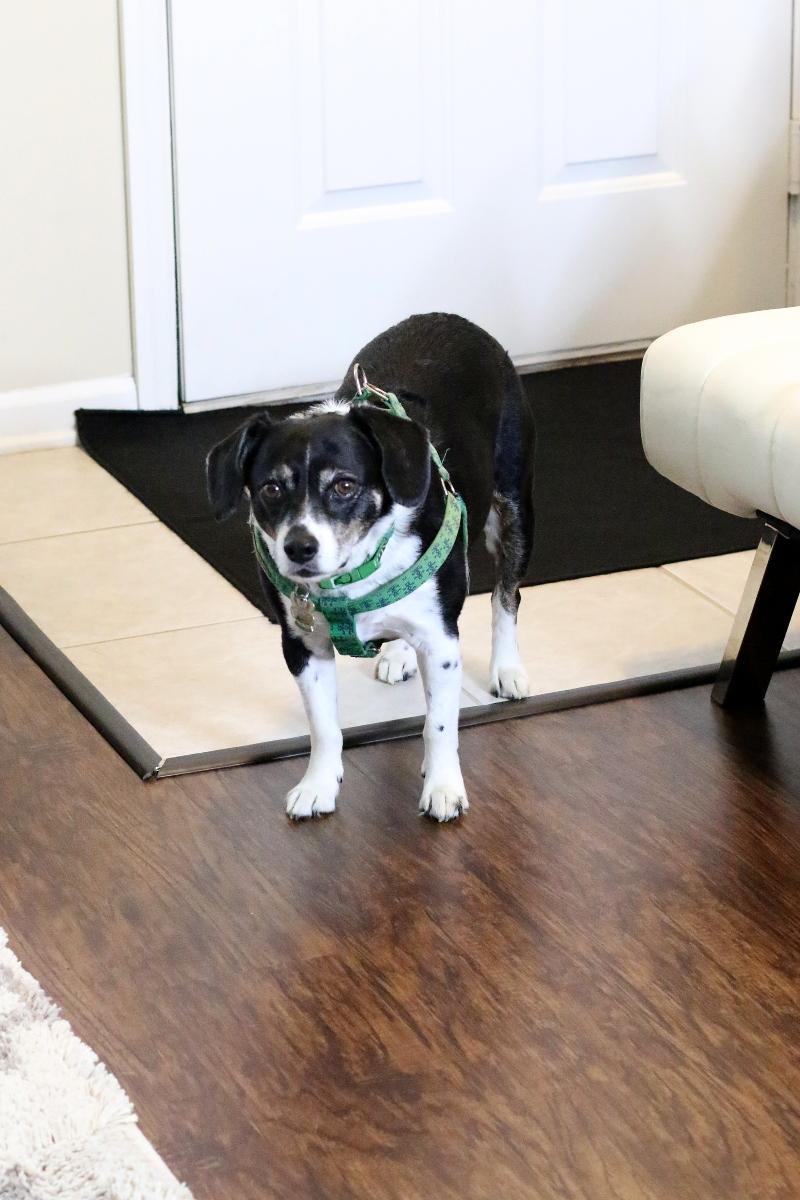louis-the-beagle-dog-carpet-laminate-wood-entry
