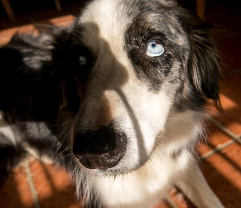Bleu the border collie. No, don't look like that.