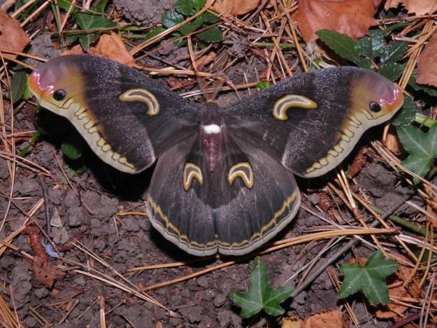 37107105344_2ef7831d04_c The Surprising Beauty of Gentle Giant Moths Random