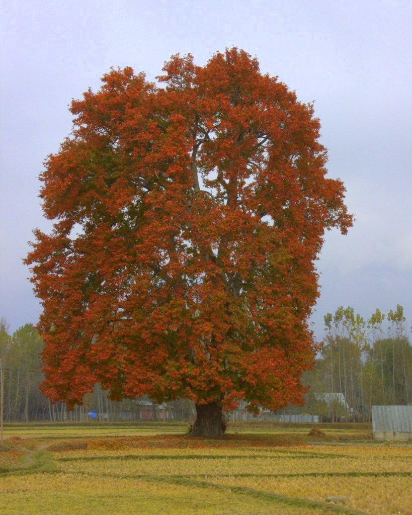 Chinar trees in autumn colours
