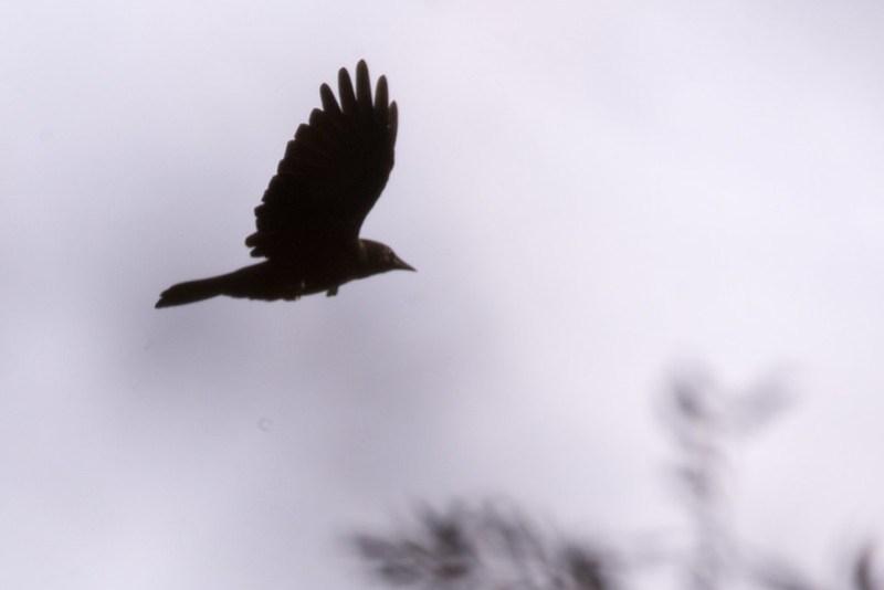 _DSC9826 American Crow