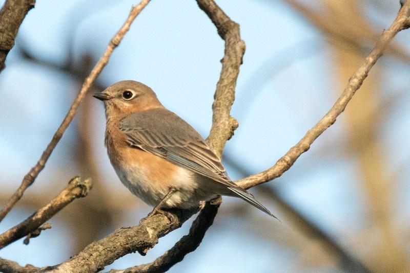 _8500559 Eastern Bluebird (f)