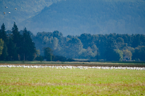 Snow Geese in the Skagit Delta