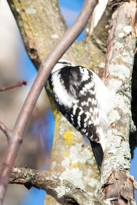 850_0179 Downy Woodpecker