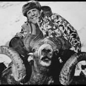 High Altai Ammon Argali Ram.