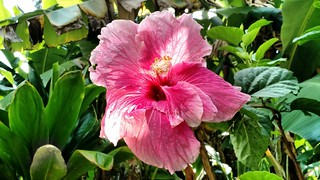 Beautiful Hibiscus
