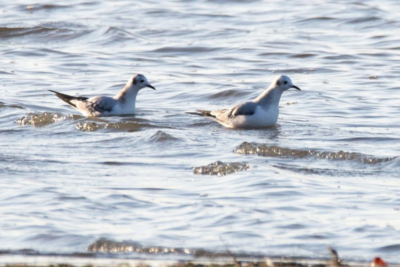 _DSC1023 Bonaparte's gull