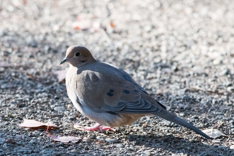 850_0201 Mourning Dove