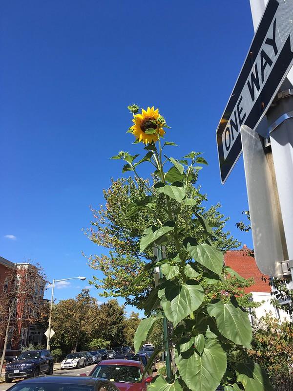Street sunflower
