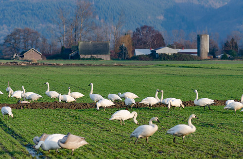 Trumpeter Swans-007