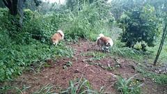 Hunting mongoose