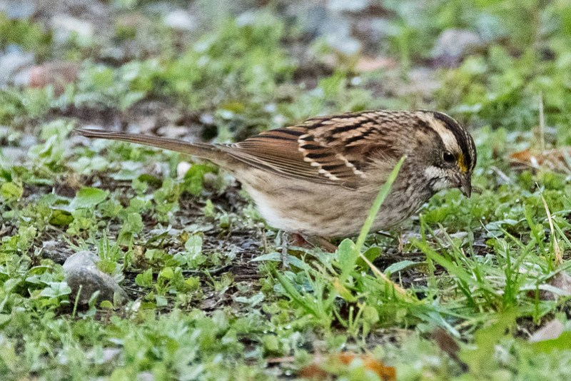 _8500534 White-throated Sparrow