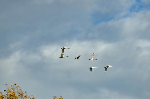 Skagit Valley Birds-28