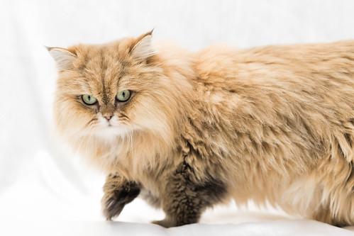 アトリエイエネコ Cat Photographer 27196690899_9dc5cb7bdc 保護猫カフェ&猫ホテル ねこんチ