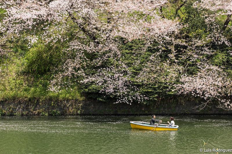 Sakura-Chidori-ga-Fuchi-Palacio-Imperial-41