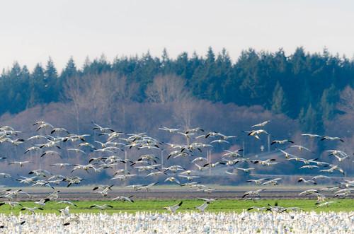 Snow Geese-001