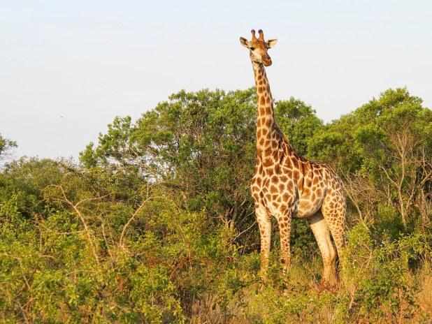 Jirafa en África