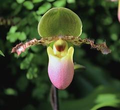 orchid-plane