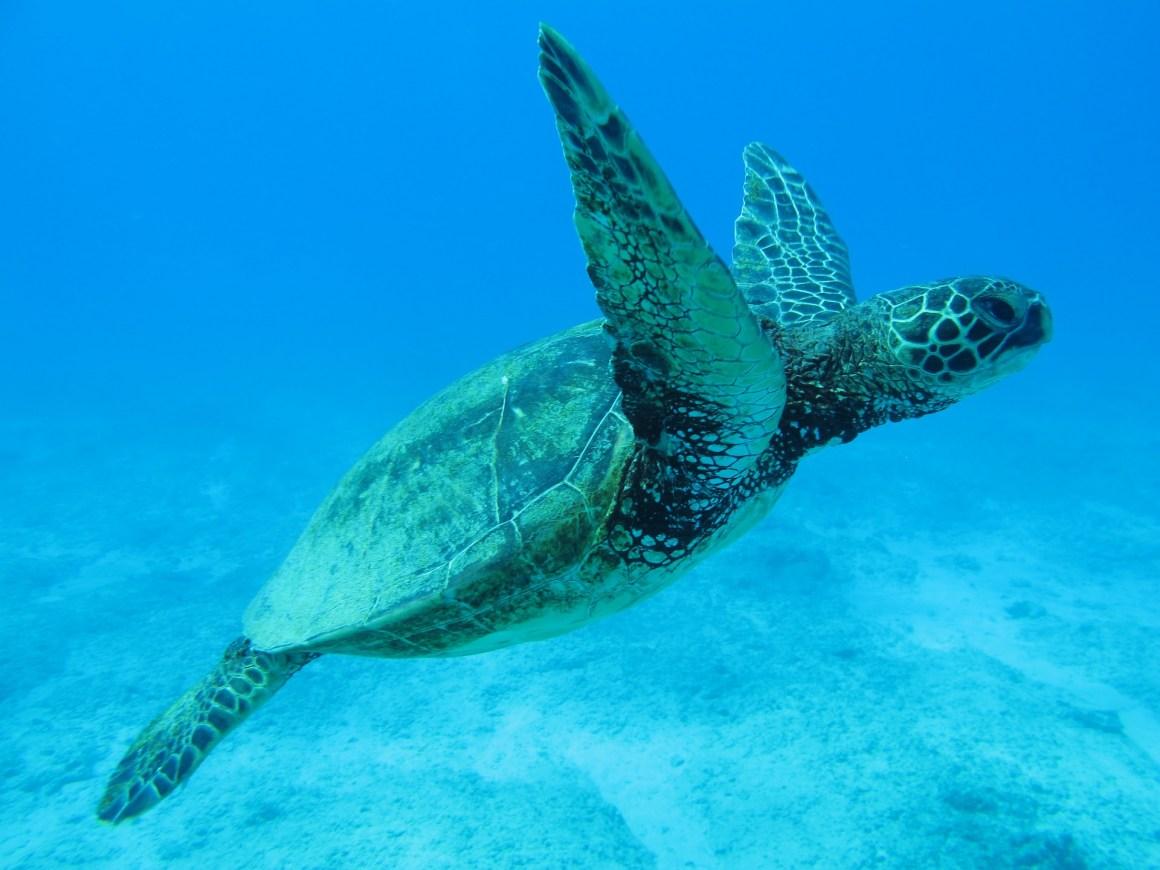 diving-turtle-hawaii