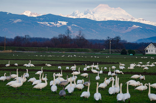 Trumpeter Swans-016