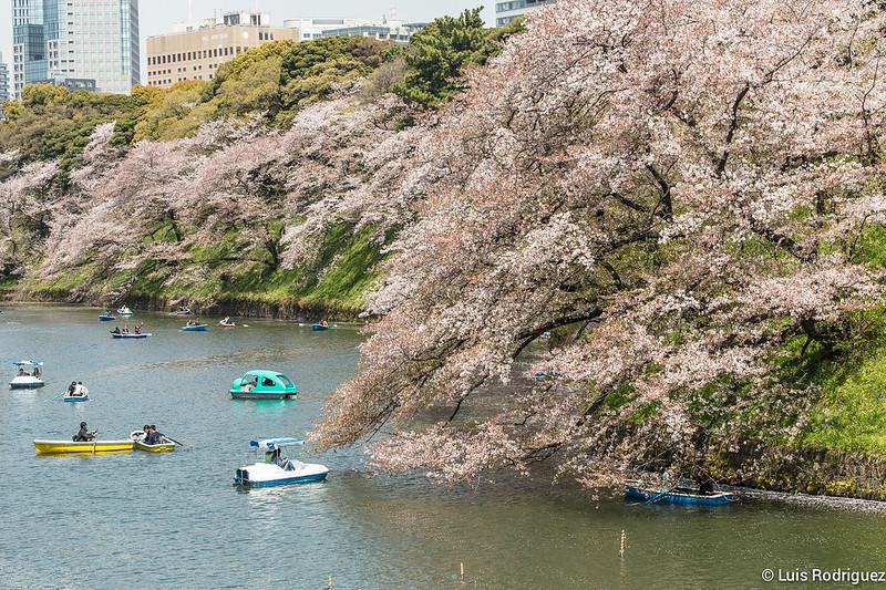 Sakura-Chidori-ga-Fuchi-Palacio-Imperial-42