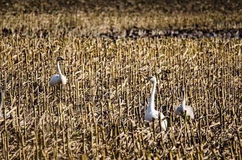 Skagit Valley Birds-16