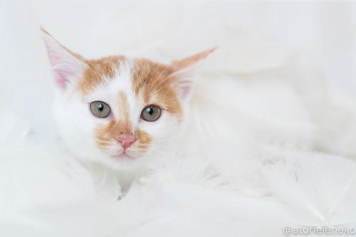 アトリエイエネコ Cat Photographer 38380507414_48c4dbed5d 1日1猫!里親様募集中のミルクちゃんです♪♪ 1日1猫!  里親様募集中 猫写真 猫 子猫 大阪 写真 保護猫 スマホ カメラ おおさかねこ倶楽部 cat