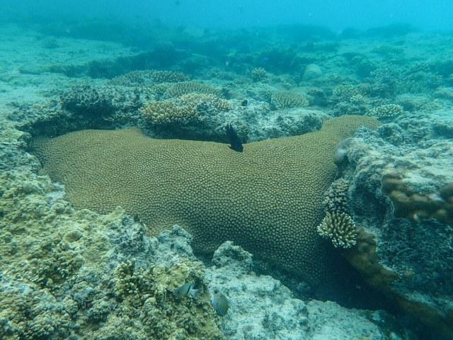 Diploastrea heliopora (Diploastrea Brain Coral)