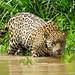 Jaguar (f) - Panthera onca