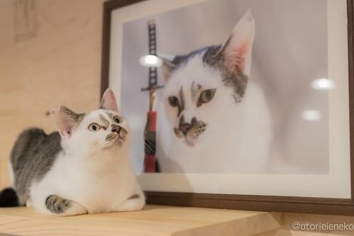 アトリエイエネコ Cat Photographer 37613765655_2c262ba4c0 1日1猫!里親様募集中のタラちゃんです! 1日1猫!  里親様募集中 猫 子猫 大阪 保護猫 ニャンとぴあ おおさかねこ倶楽部 cat