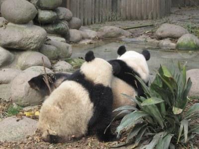 Mother and child panda Giant Panda Breeding Center Chengdu China