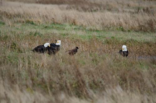 Skagit Valley Birds-25