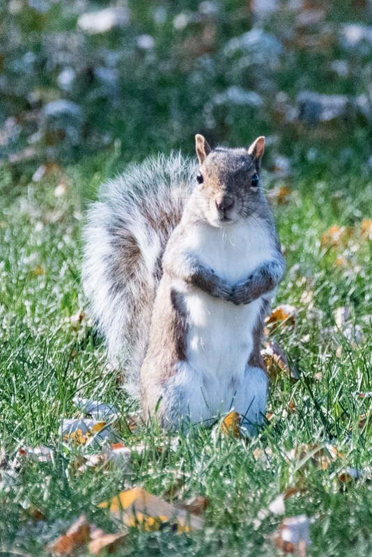 _8501043 Gray Squirrel