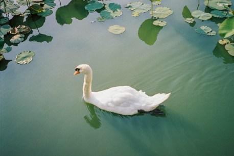 Nagai Park Swan