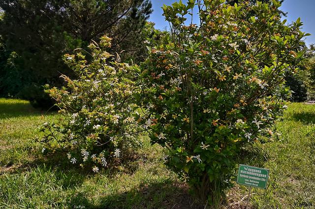 Gardenia jasminoides. Place of origin: China