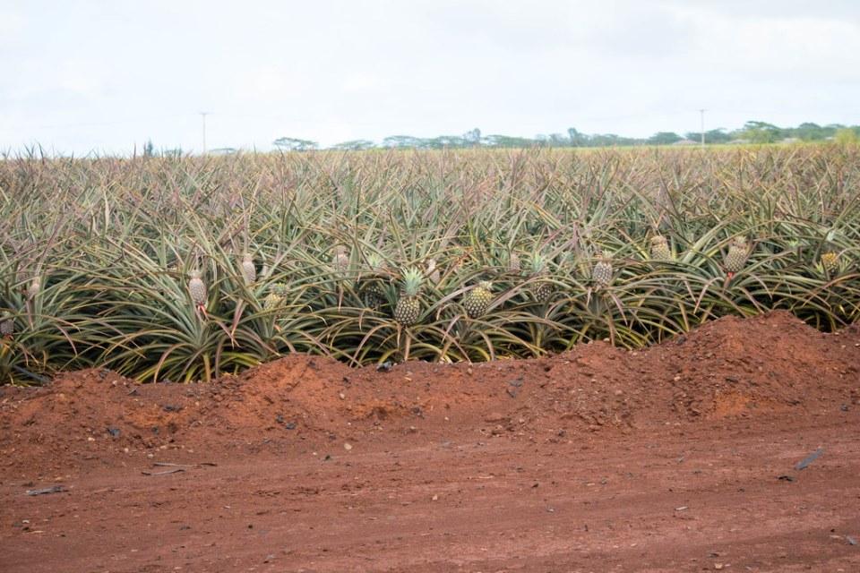 Dole Plantation Pineapple Express Train Tour