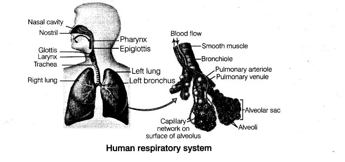 NEET Biology Breathing and Exchange of Gases Respiration
