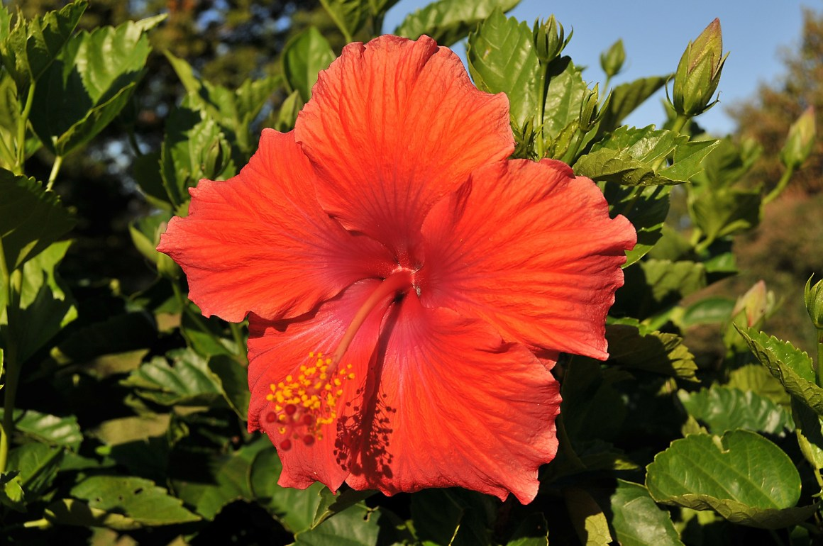 hibiscus-hawaii