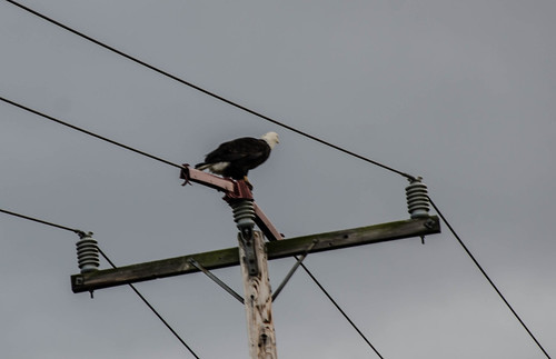 Skagit Valley Birds-1