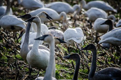 Skagit Valley Birds-30